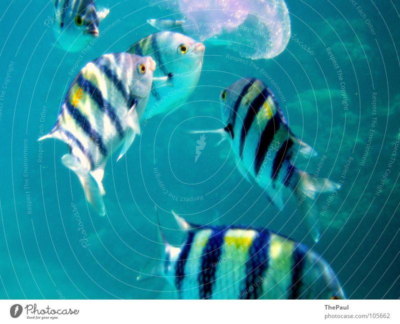 Fressorgie Meer gestreift beweglich Qualle durchsichtig Aggression Unterwasseraufnahme Fisch blau Wasser flink wabbelig Bewegung Aktion Appetit & Hunger