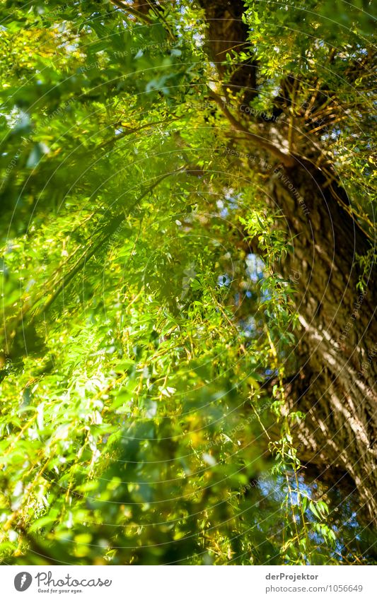 Lichtspiele in Trauerweide Natur Ferien & Urlaub & Reisen Pflanze grün schön Baum Freude Umwelt gelb Gefühle Herbst Glück außergewöhnlich Stimmung Zufriedenheit
