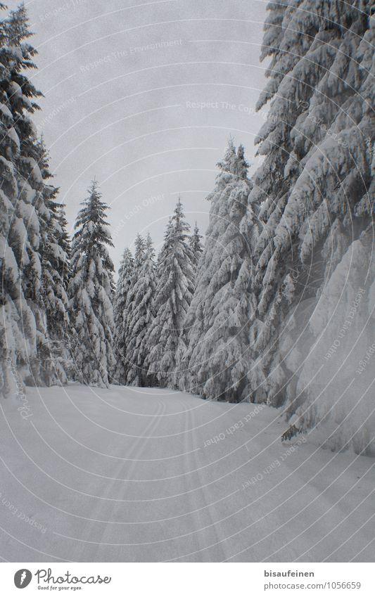 Loipe Sport Wintersport Natur Landschaft Eis Frost Schnee Baum Wald Wege & Pfade Einsamkeit Skilanglauf Skifahren Skigebiet Schneelandschaft Tanne Farbfoto