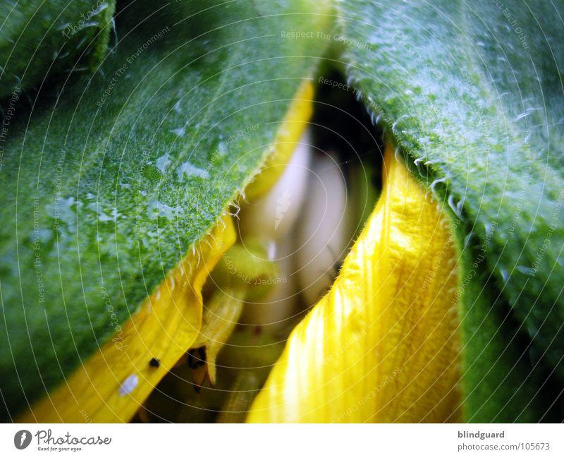 Behütet und Beschützt Sonnenblume Knolle Blüte grün Pflanze Biologie Gärtner Sommer Perspektive Ranke gedeihen Wachstum gelb aufgehen Blühend entfalten