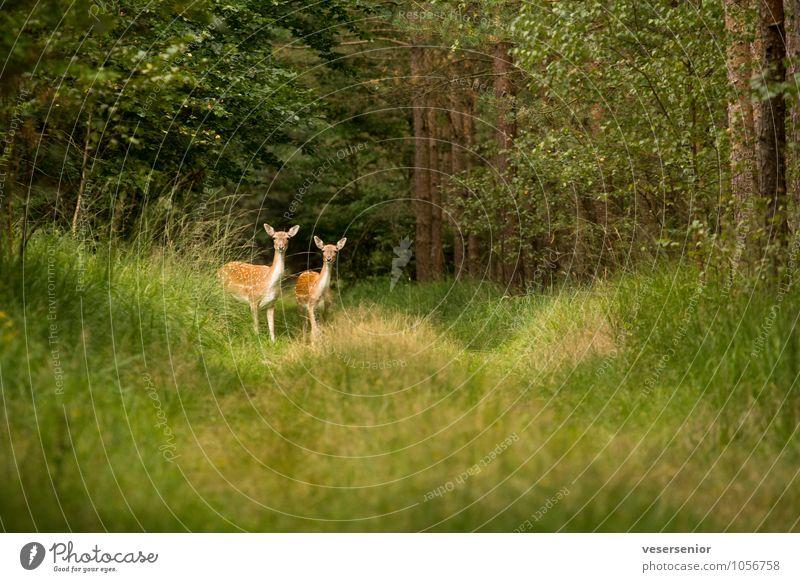 guck mal, so ne canon wuensch ich mir auch! Natur Sommer Wald Wildtier Damwild 2 Tier beobachten entdecken Neugier grün achtsam Wachsamkeit Überraschung