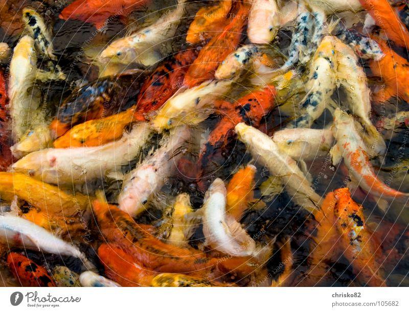 Suimono Anhäufung Koi Goldfisch Teich Zoo Futter füttern Appetit & Hunger kämpfen Fressen springen Kieme mehrfarbig Verschiedenheit Unikat tauchen wühlen Lippen