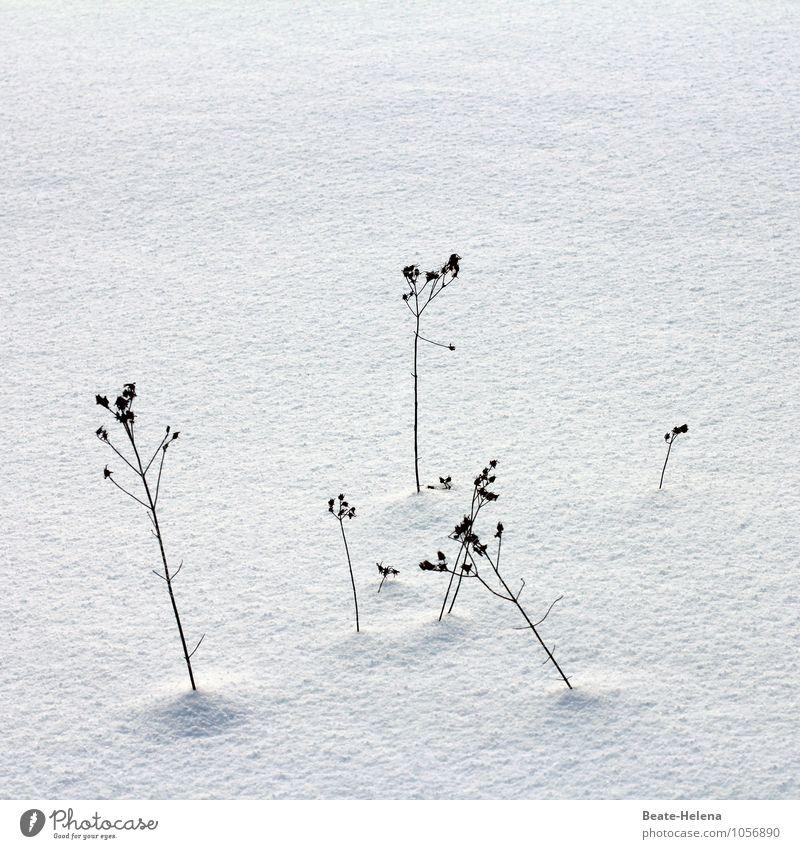 Die letzten ihrer Art ruhig Natur Winter Pflanze Gras Sträucher verblüht dehydrieren dünn einfach einzigartig schwarz weiß Endzeitstimmung Trockenblume Halm