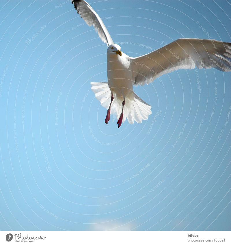 Machen wir zusammen einen Ausflug? Möwe weiß schwarz Meeresvogel Vogel Tier Federvieh Flugzeug Unendlichkeit schön stahlblau tief Außenaufnahme Möve Möven