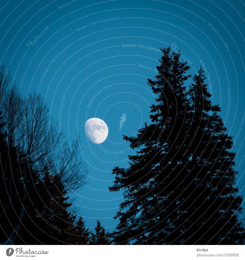 Nachtschatten Natur Himmel Mond Vollmond Herbst Winter Tanne Laubbaum Wald ästhetisch positiv blau schwarz weiß ruhig Idylle rein Wandel & Veränderung