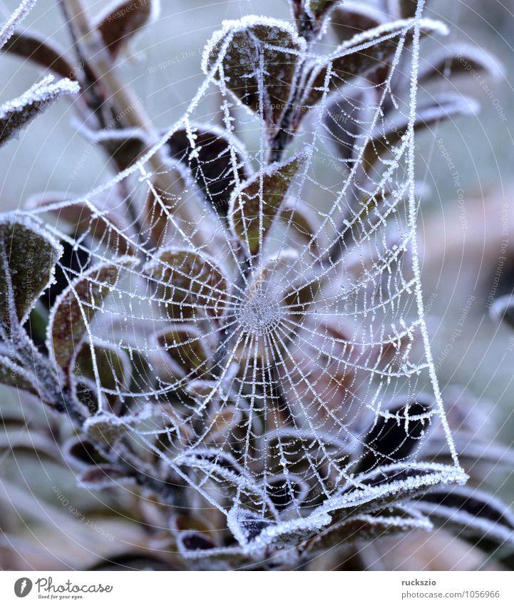 Spinnwebe, Raureif Winter Nebel Spinne Netz ästhetisch Schnee Fadengeflecht Spinnennetz Spinnengewebe Radspinnennetz Radspinnennetze Spinnenwebe Spinnweben
