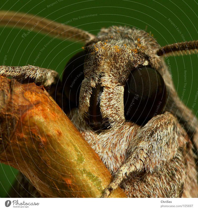 Schau mir in die Augen .... : Windenschwärmer_02 Schmetterling Fell Insekt Tier Sommer grau braun gelb Fühler wandern Motte Tarnfarbe Nordwalde Makroaufnahme