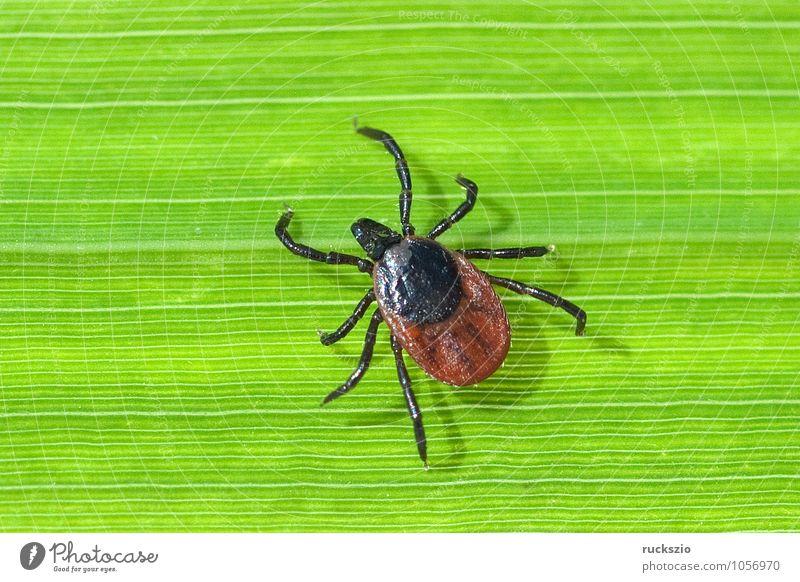 Zecke; Holzbock; Ixodes; ricinus; Natur Spinne bedrohlich Ekel gruselig braun grün Angst Zeckenstich blutsaugender Parasit Blutsauger Schildzecke Holzboecke