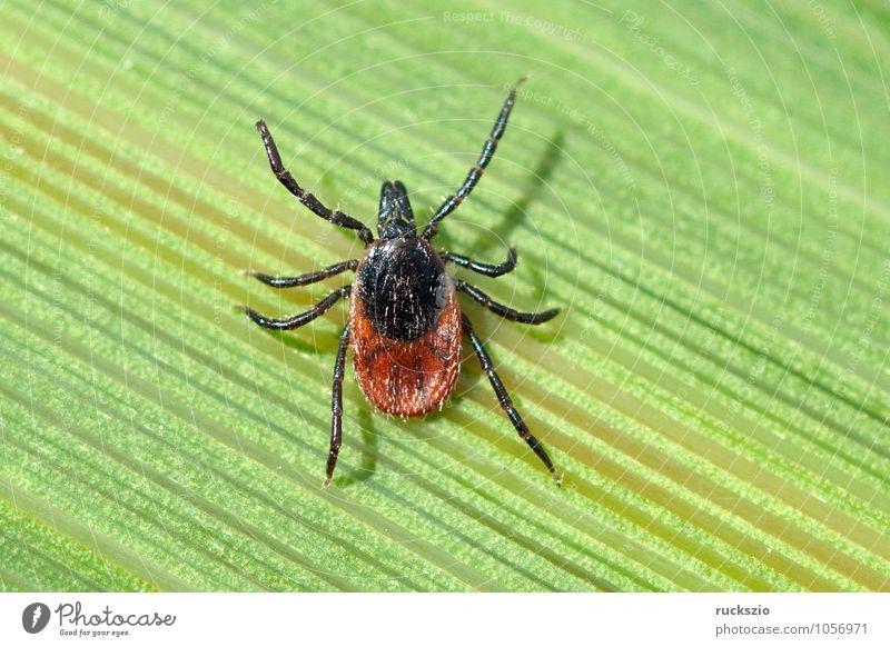 Zecke; Holzbock; Ixodes; ricinus; Natur weiß schwarz Gras Hintergrundbild frei Halm eng Spinne Schlag Objektfotografie neutral Tick freilassen Parasit