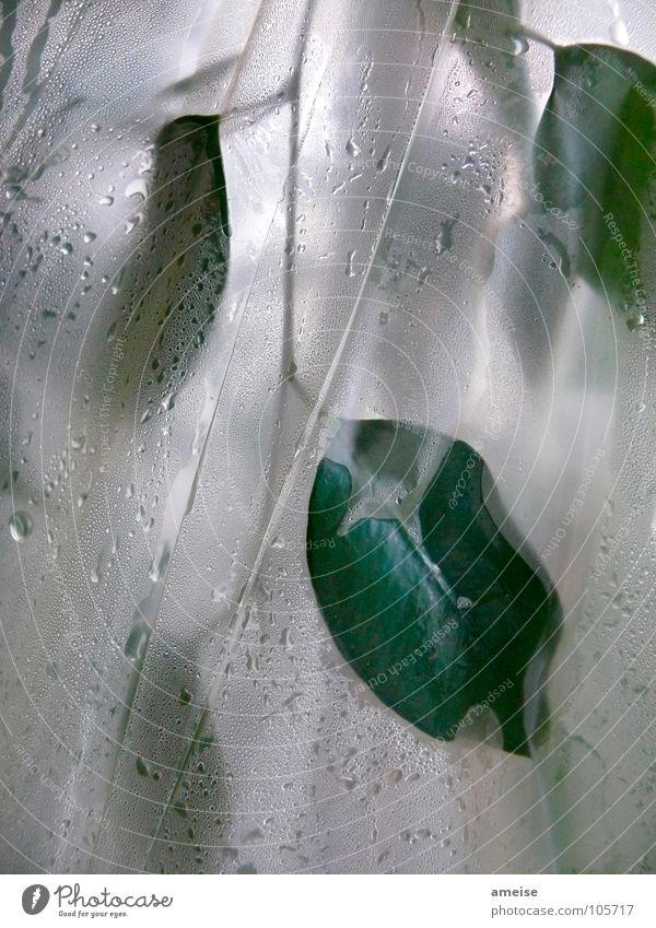 Mein kleines Treibhaus (pt.1) Wasser grün Pflanze Blatt Wassertropfen Wissenschaften feucht Gewächshaus Feige Birkenfeige