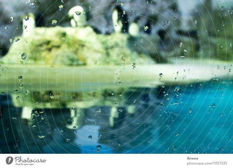 Tauwetter Wasser Wassertropfen Tier Vogel Zoo Aquarium Pinguin wasservogel Tiergruppe Schwarm Stein Glas Schwimmen & Baden sitzen stehen blau gelb Klima Umwelt