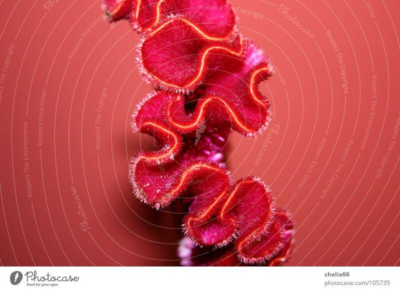 amorph Natur Blume rot Blüte Wärme Linie Wellen Physik Falte Tier