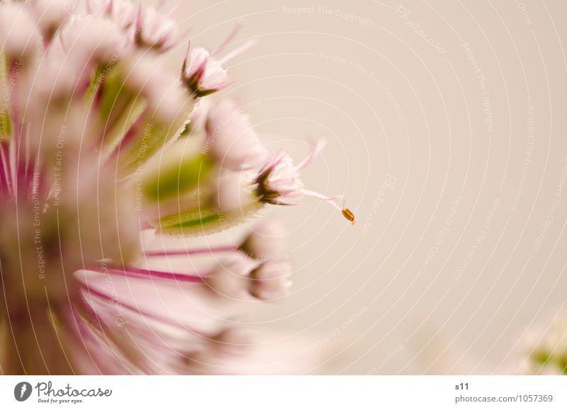 rosa blümchen Natur Pflanze schön grün Sommer Blume feminin Blüte natürlich klein außergewöhnlich Garten authentisch frisch ästhetisch