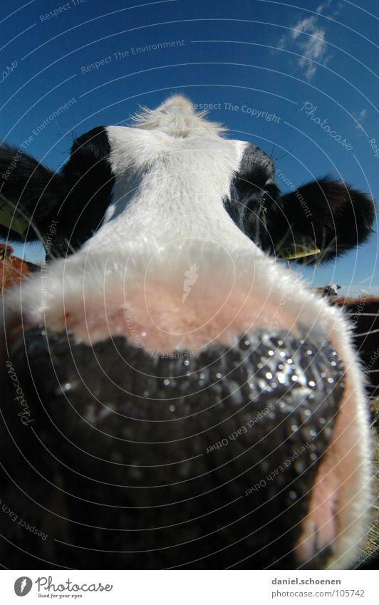 feuchter Kuß Kuh Weitwinkel Landwirtschaft Tier Wiese Sommer grün zyan Ferien & Urlaub & Reisen Schwarzwald Umwelt Biotop ökologisch Wolken Gras schön Vieh