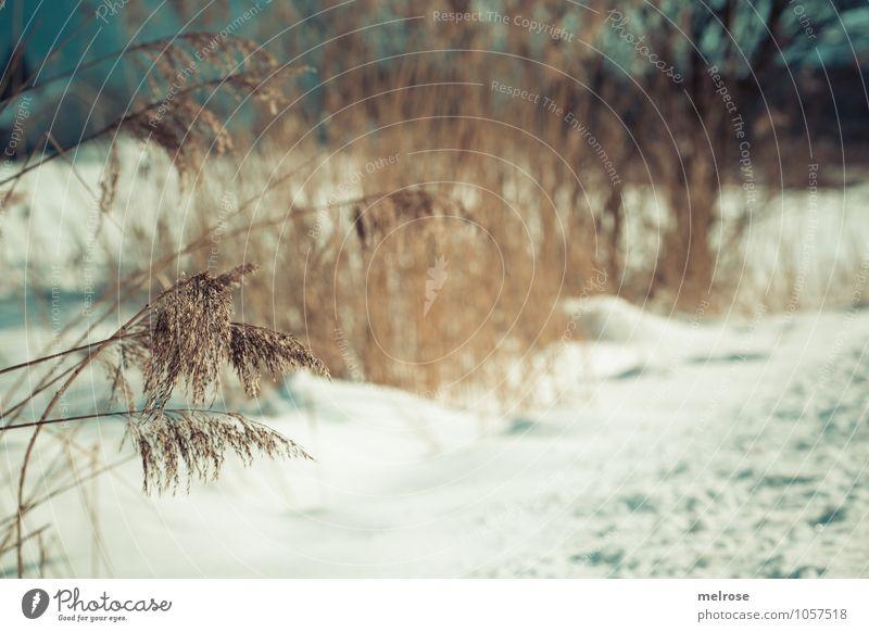 Wintergräser II Natur Landschaft Schönes Wetter Schnee Baum Gras Sträucher Wildpflanze Zweige u. Äste Schilfgräser Teich atmen Erholung frieren verblüht
