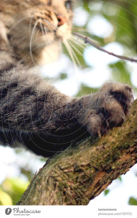Stubentiger auf der Pirsch Katze Krallen Baum Schnauze Pfote Fell kratzen Haushalt getigert Ast Jagd Klettern