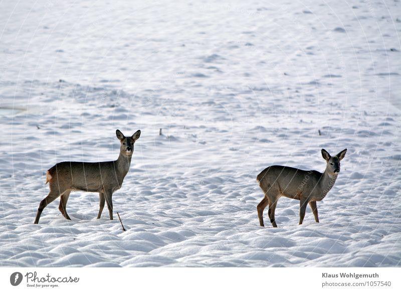 Notzeit Umwelt Natur Tier Winter Schönes Wetter Schnee Feld Fell Reh 2 beobachten frieren blau braun schwarz weiß friedlich Wachsamkeit Appetit & Hunger Angst