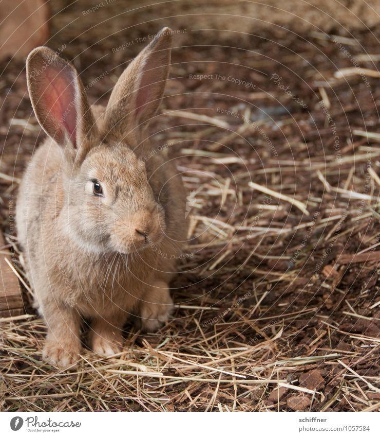 Ostertarnung Tier Hase & Kaninchen Stall Ein Tier Nutztier braun beige Stroh Osterhase Ohr Nagetiere Kleintierzucht Menschenleer