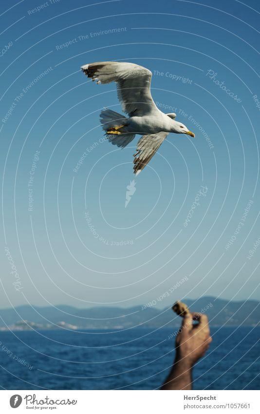 Lockmittel Mensch Ferien & Urlaub & Reisen Mann blau Hand Tier Erwachsene grau fliegen Vogel Arme Ausflug Italien Appetit & Hunger Möwe fliegend