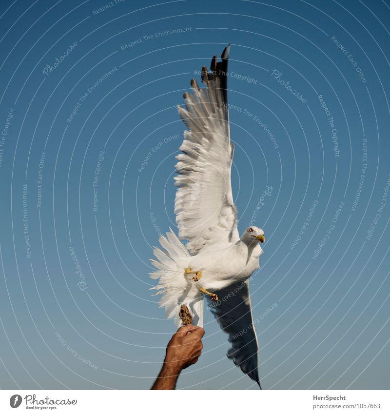 Futterspender maskulin Mann Erwachsene Hand 30-45 Jahre Himmel Wolkenloser Himmel Schönes Wetter Vogel Tiergesicht Flügel Krallen 1 fliegen füttern frei greifen