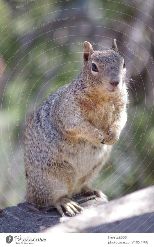 Eichhörnchen Tier Wildtier Tiergesicht Pfote Nagetiere 1 Fressen füttern frech Neugier niedlich wild braun Tierliebe Überraschung Natur Umwelt Squrirrel USA