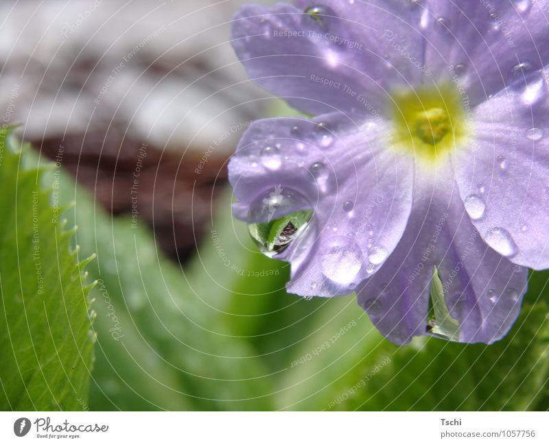 nasse FrühlingsPrimel im Sonnenlicht Garten Natur Pflanze Wassertropfen Blume Blatt Blühend Duft Wachstum natürlich Sauberkeit blau grün violett achtsam