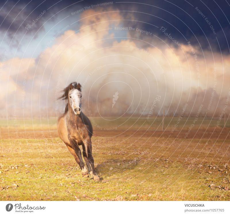 Pferd rennt vorwärts Lifestyle Sommer Natur Pflanze Tier Himmel Wolken Gewitterwolken Horizont Frühling Herbst Nutztier 1 Kraft horse Sonnenuntergang