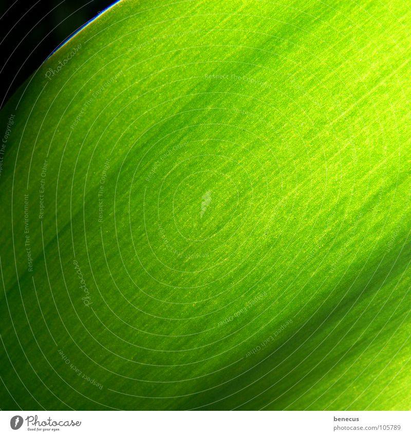 Chlorophyll grün hellgrün giftgrün Faser Gefäße Verlauf frisch Licht nah Pflanze pflanzlich Umwelt Strukturen & Formen Photosynthese Frühling Farbe mehrfarbig