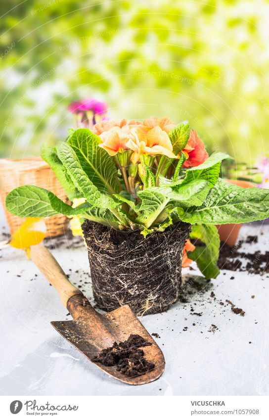 Primeln mit Schaufel auf Gartentisch Stil Design Dekoration & Verzierung Natur Pflanze Frühling Sommer Blume Park Kissen-Primel Primelgewächse Gartenarbeit