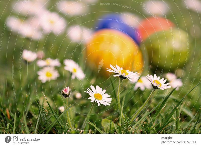 Ostereier im Blumenbeet mit Gänseblümchen Lebensmittel Ei Ostern Ernährung Frühstück Pflanze Gras Blatt Blüte Wiese Blühend Wachstum grün verstecken Versteck