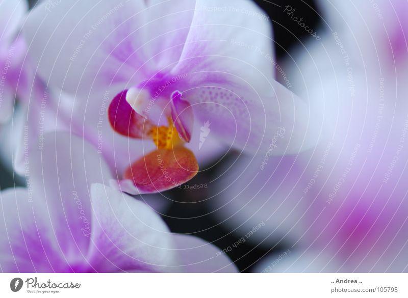 Orchideentraum 2 Blume Blüte Blühend weiß. lila. blume edel orchi orchis Farbfoto