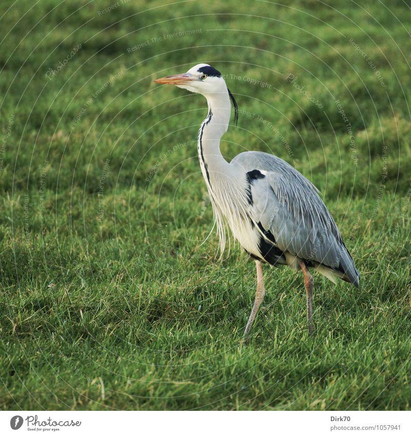 Vorwärtsschreiten Natur grün weiß ruhig Tier Winter schwarz gelb Wiese Gras natürlich grau gehen Vogel elegant Wildtier