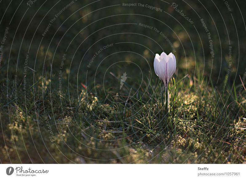natürlich | von der Sonne gestreichelt Krokus Frühlingskrokus Naturerwachen weißer Krokus blühender Krokus Frühlingsblume blühende Frühlingsblume