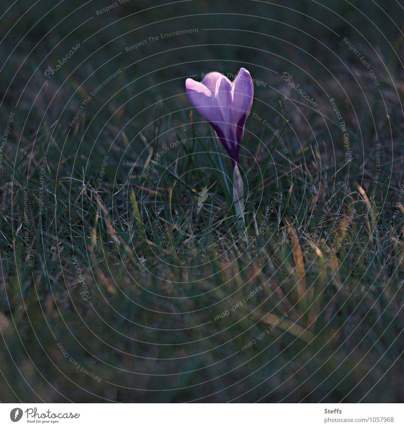 Vorbote Natur Pflanze grün Blume Frühling Beginn Blühend Zeichen neu violett Frühlingsgefühle Wildpflanze Krokusse Frühlingsblume Frühblüher Frühlingstag