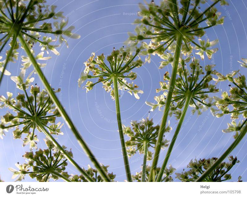 Nachzügler... Blume Blüte Pflanze Wiese Wegrand Blühend emporragend Stengel grün weiß Wachstum gedeihen Wolken Doldenblüte Wilde Möhre Sommer Sommertag