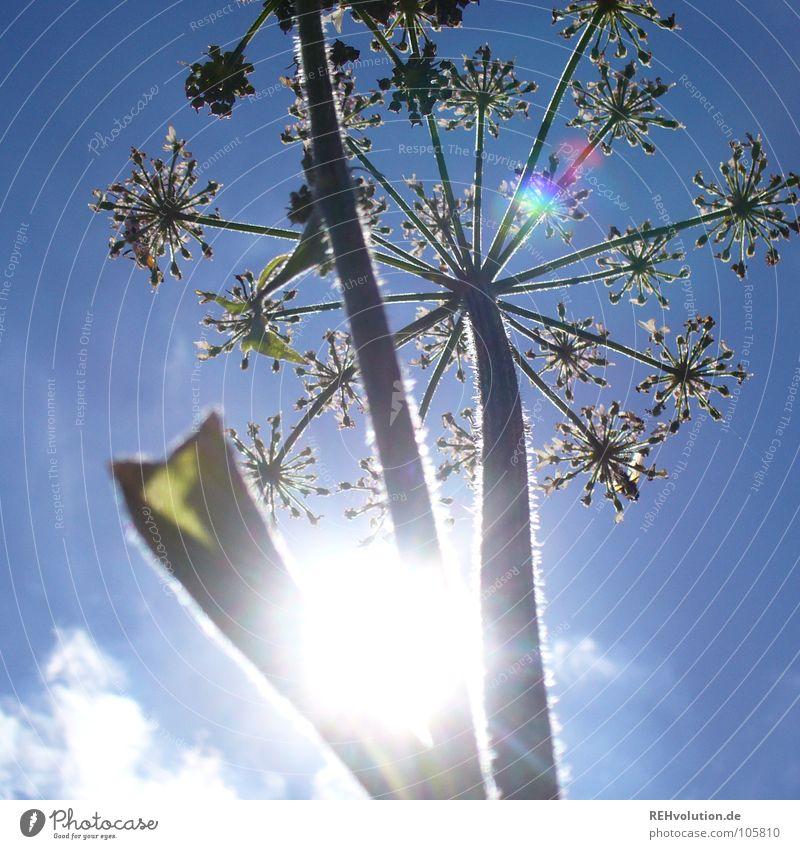 Damals im Sommer ... Himmel Sonne Blume grün blau Pflanze Wolken Lampe Wiese Blüte Beleuchtung Kraft hoch Stern (Symbol)