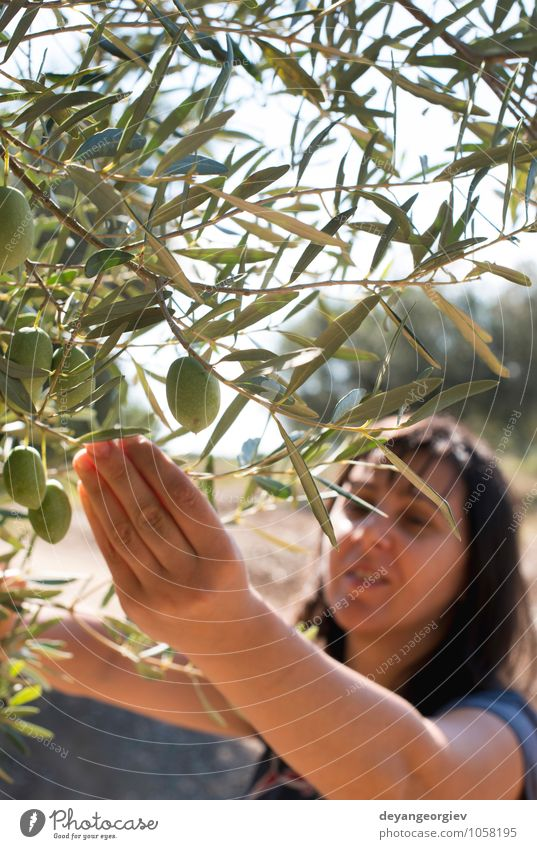 Oliven pflücken, Frau mit Olivenzweig. Frucht Garten Hand Natur Pflanze Baum Blatt frisch grün Kommissionierung Ernte Ackerbau organisch Palaestinenser reif