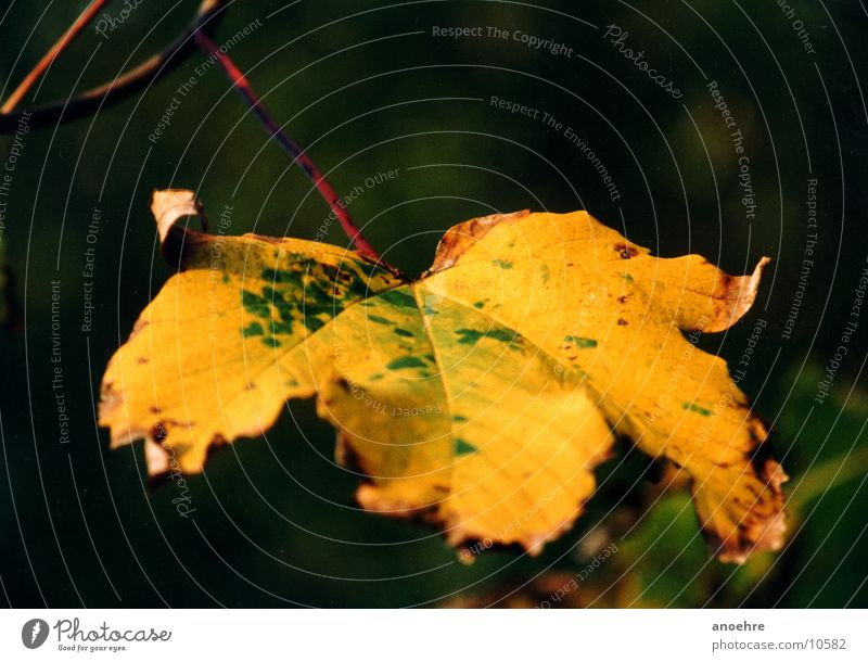 Herbstblatt im Detail Blatt Detailaufnahme Makroaufnahme Farbe Natur