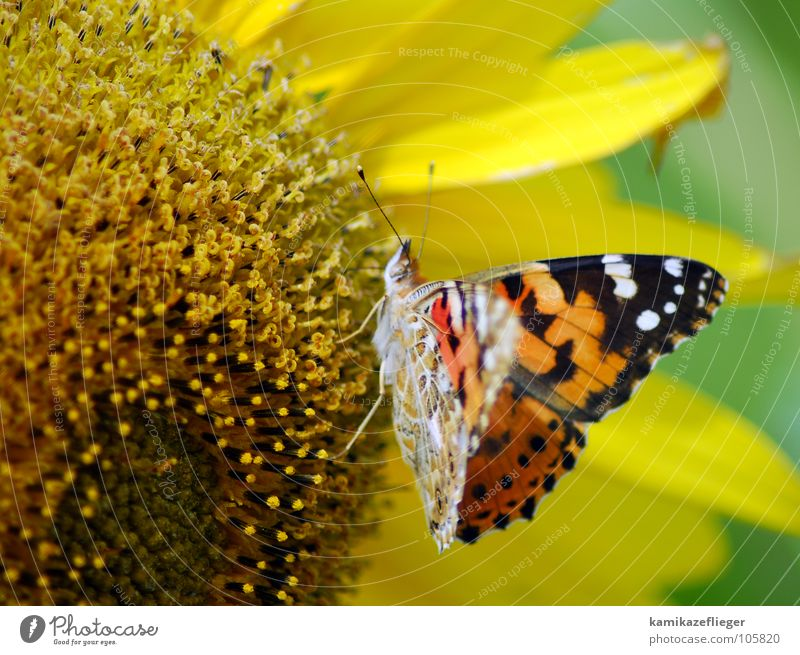 schmetterblumesonnenling Sonnenblume Schmetterling flattern mehrfarbig Tagpfauenauge Staubfäden Ernährung Fühler gelb braun Sommer Nektar Flügel Fressen