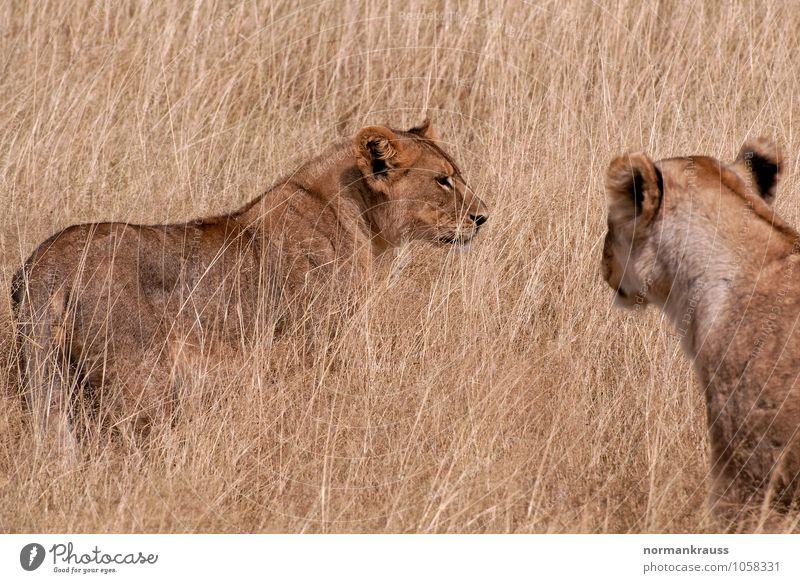 """Löwen Tier Wildtier """"Löwe Säugetier Steppe,"""" Afrika 2 beobachten Blick braun Mut Kraft Namibia Landraubtier Nationalpark Raubkatze Farbfoto Außenaufnahme"""