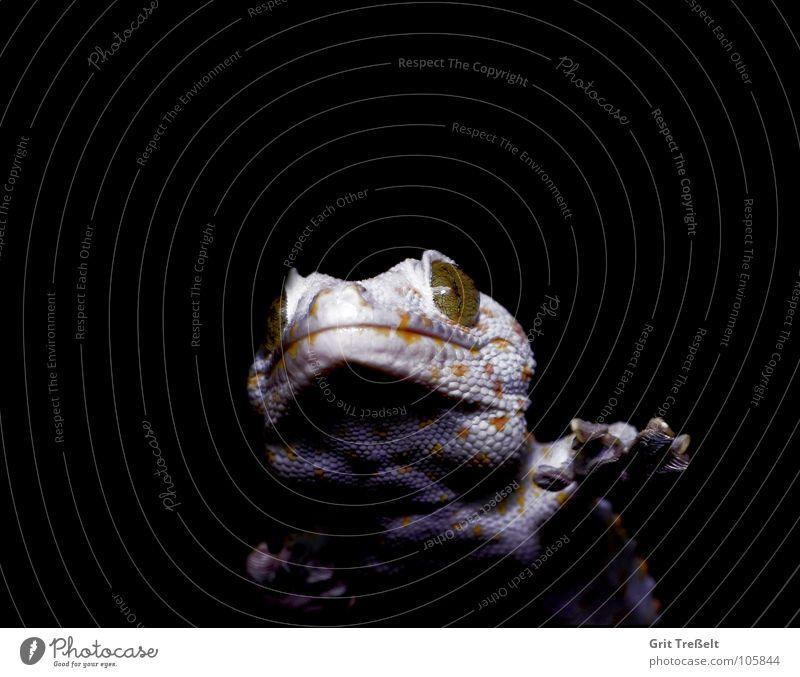 Tokee Reptil Terrarium weiß gelb schwarz Zoo Punkt klebend Reptilienzoo