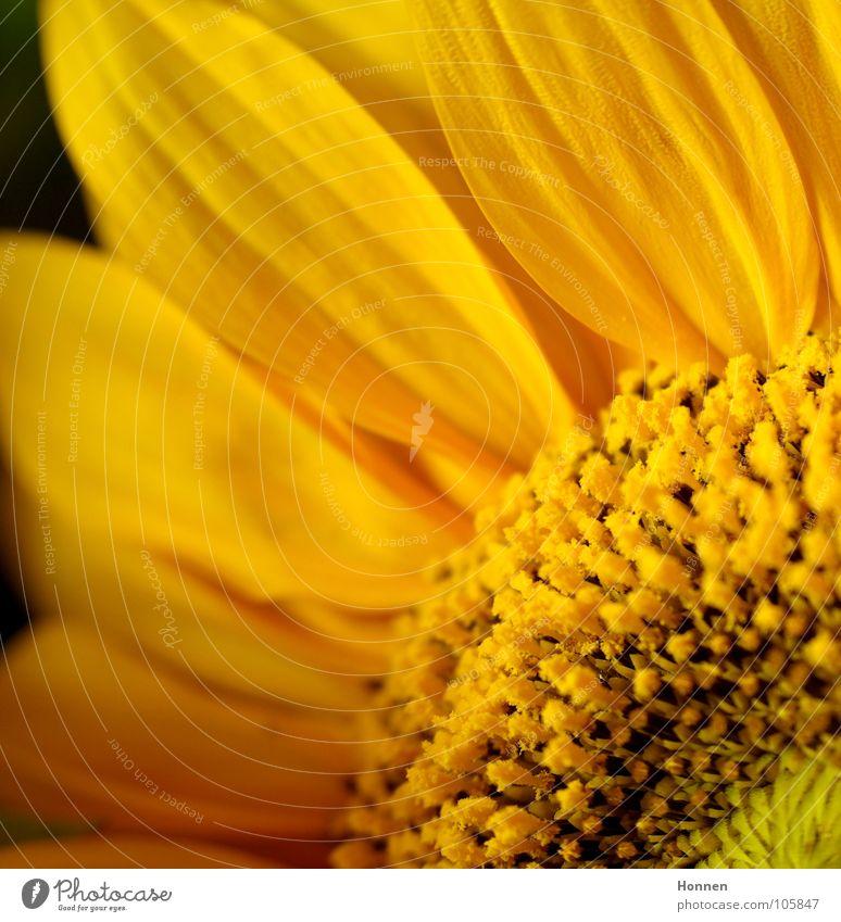 Sun In The Dark III Natur schön Pflanze Sommer schwarz gelb dunkel Feld Wachstum Ernte Sonnenblume Erdöl Samen Kerne Biologie Vase