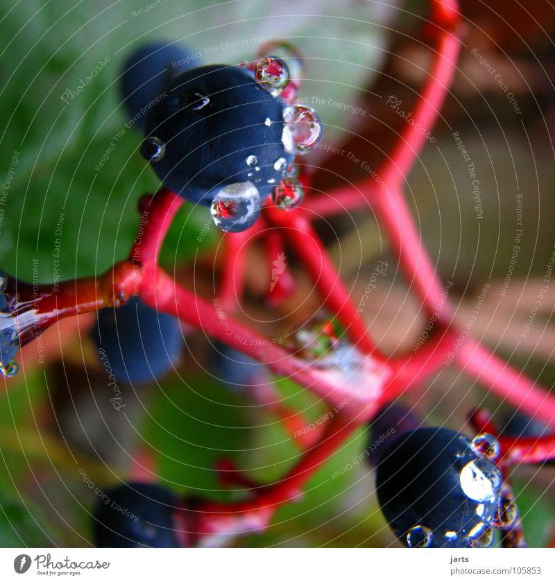 pearls Wassertropfen Rotwein Weintrauben Frucht jarts Garten