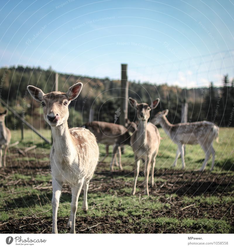 rotwild Umwelt Natur Landschaft Schönes Wetter Feld Tier Wildtier Tiergruppe Herde hell Reh Rothirsch Fell Gehege Jäger Tierzucht Farbfoto Außenaufnahme