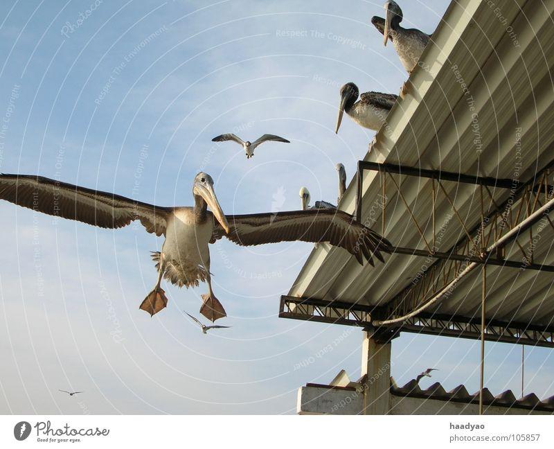 Landung Himmel Meer Strand Ferien & Urlaub & Reisen Vogel fliegen Fisch Flugzeuglandung Tier Südamerika Peru Pelikan