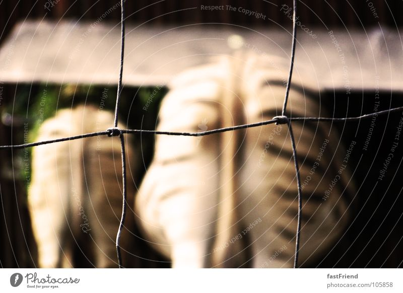neulich bei McD Tier Freundschaft 2 Tierpaar paarweise Streifen Hinterteil Zoo Dresden Zaun schwanger Langeweile Barriere Draht Säugetier Schwanz