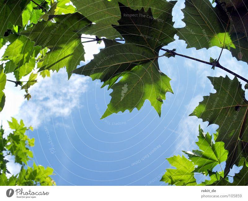 Durchblick Sekt Eltville Rhein Alkoholisiert aufwachen schlafen prickeln Baum Blatt Wolken weiß grün Einblick Blätterdach Rheingau Verkehrswege Freude sektfest