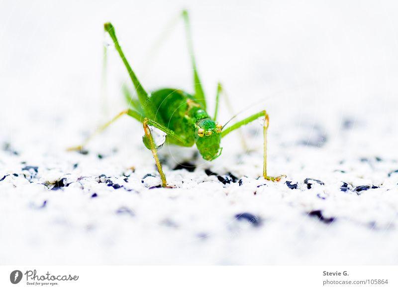wasserschlacht grün Wassertropfen Insekt Tier Lebewesen Heuschrecke Makroaufnahme
