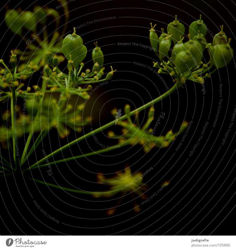 Wiese Wiesenkerbel Gefleckter Schierling Blüte Blume Pflanze Stengel Doldenblütler Bedecktsamer weiß braun schwarz Sommer Umwelt Wachstum gedeihen schön Gift