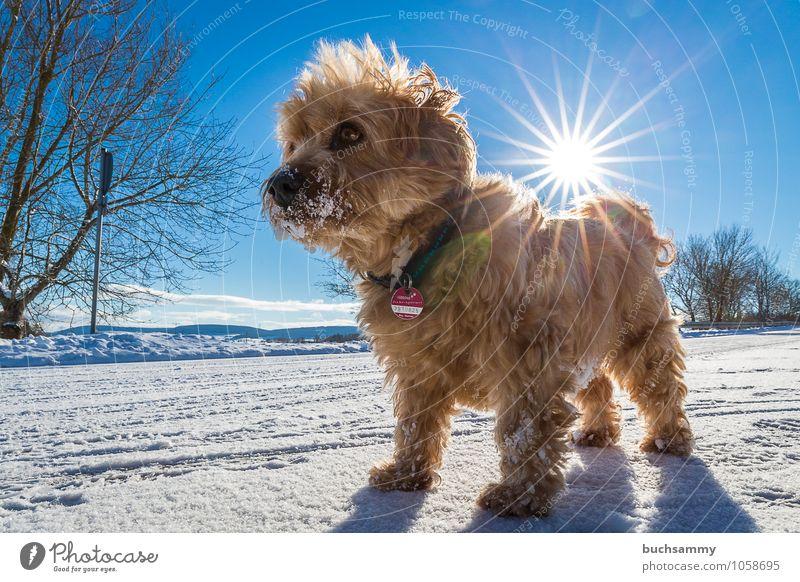 Kleiner Star Sonne Tier Baum Haustier Hund 1 stehen blau braun weiß Havaneser Mischling Rassehund Sonnenschein Säugetier Farbfoto Außenaufnahme Tag Sonnenlicht